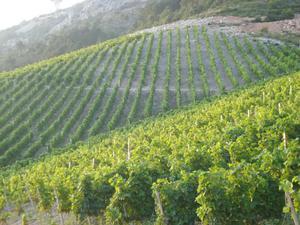 T2056 Weinanbaugebiet  Peljesac